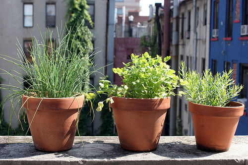 pots on ledge with herbs